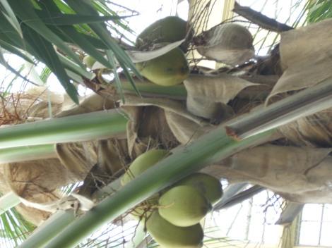 Cococnut palm