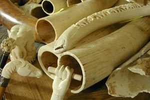 Elephant Tusks and Ivory Products/Courtesy USFWS
