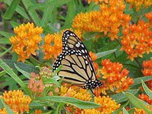 Monarchs seek out colorful asclepias for their nectar