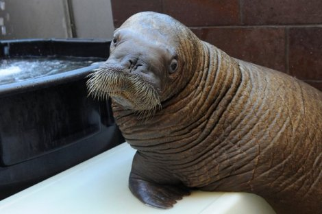 Orphaned baby walrus survived Hurricane Sandy.