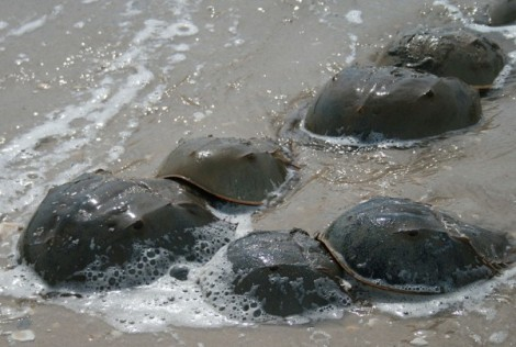 Horseshoe Crab Mating Encyclopedia of Life/Asturnut