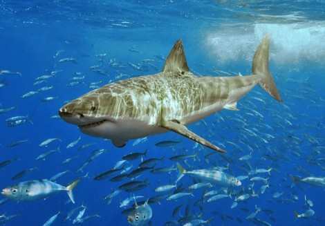 White Shark Courtesy of Wiki Commons