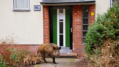 Some 3000 wild boars live in Berlin