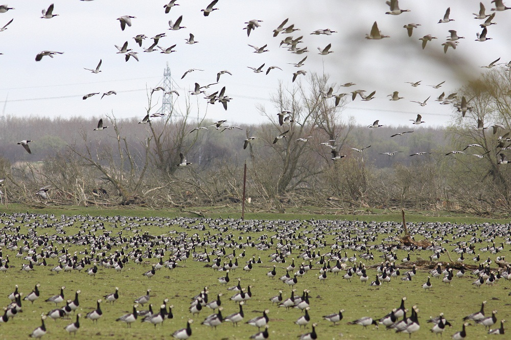 Barnacle geese abound in the thousands, along with other migratory birds and waterfowl. Courtesy of Staatsbosbeheer
