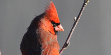 Cardinal. Photo by Michele Black
