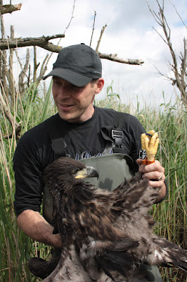 Forester holds a rare white-tailed eagle. A breeding pair arrived on their own -- a great victory for OVP. Courtesy of Staatsbosbeheer.nl.
