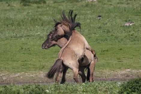 Konik horses on new documentary film.