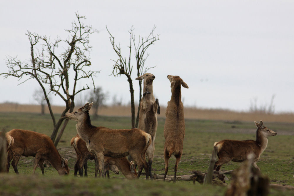 Red deer at Oostvaardersplassen
