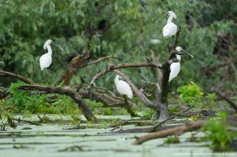 Danube delta waterfowl and birds.