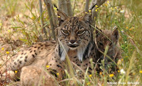 Endangered Iberian Lynx