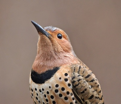 Northern Flicker. Courtesy of Gary Mueller (rights reserved). National Audubon Society