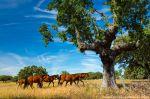 Horses reintroduced into the Campanarios de Azaba reserve.