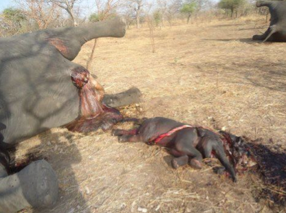 Aborted elephant calf and headless mother. Courtesy Elephant SOS.