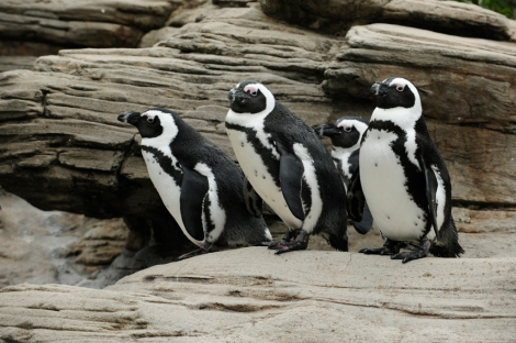 Black Footed Penguins Photo by Julie Larsen Maher. Courtesy  New York Aquarium
