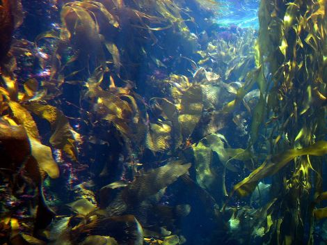 Kelp forest courtesy of Wiki commons/Fastily