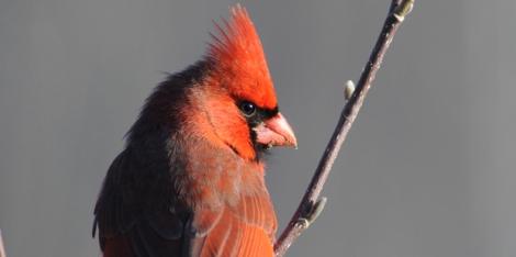 Cardinal Courtesy of Michele Black (Ohio)