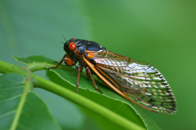 Cicada Serenade will take place at the New York Botanical Garden, Sat. June 2.