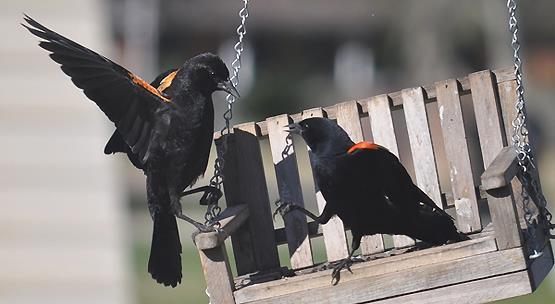 Redwing blackbirds by Michelle LaSalle LA