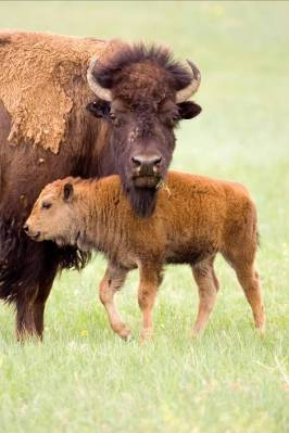 Bison and calf.Courtesy of Badlands National Park