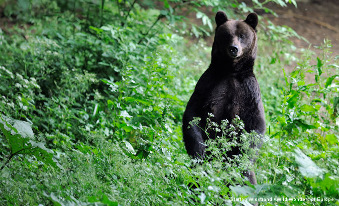 "Eurasian brown bear (Ursus arctus) at a ""watching site"" in Southern Carpathians © Staffan Widstrand/Wild Wonder of Europe"
