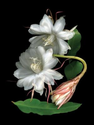 Night blooming cereus (Epiphyllum oxypetalum) Photo by Ellen Hovercamp.