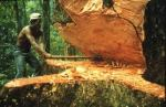 Contemporary view of cutting mahogany. Photo courtesy of CITES.
