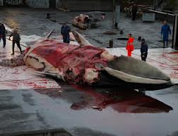 Fin whale slaughter. Courtesy of WWF Panda.
