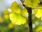 Gingko golden leaves in autumn Photo by ASJI