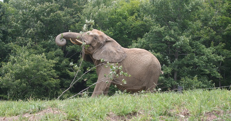 At the International Conservation Center (Pittsburgh Zoo) a biomass burner can dry, resize, store and burn elephant waste. It's a great alternative to the landfill. An elephant produces 100-125 pounds of poop a day. The burner can produce 2000 pounds a day.