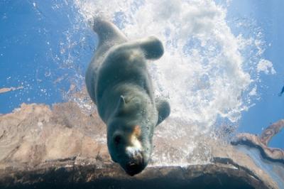Aurora, the polar bear. Photo by ©Paul A. Selvaggio