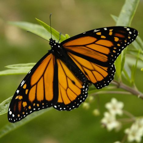 Monarch butterfly. Photo credit Armon Wikipedia Commons. CC BY-SA