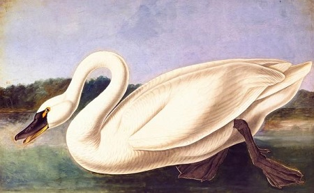 John James Audubon (1785–1851),Tundra Swan (Cygnus columbianus), Havell pl. 411, 1838.