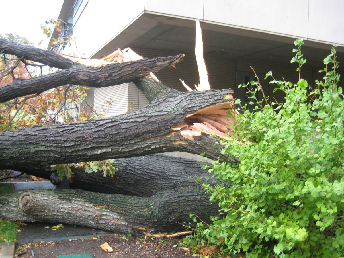 Red Oak uprooted near Pfizer Lab Building at the New York Botanical Garden was among hundreds damaged and destroyed during Hurricane Sandy.