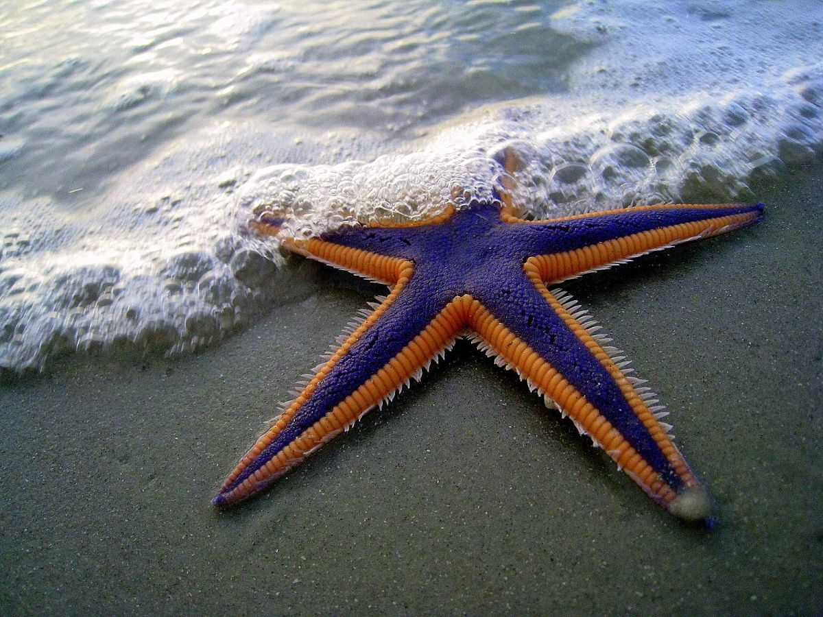Royal Star Fish -Astropecten articulatus, Daytona Beach Shores, Fla. Copyright Marc Walz. (Posted on the Encyclopedia of Life)