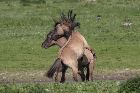 Wild Horses at Oostvaardersplassen The Netherlands) in Rewilding Europe series