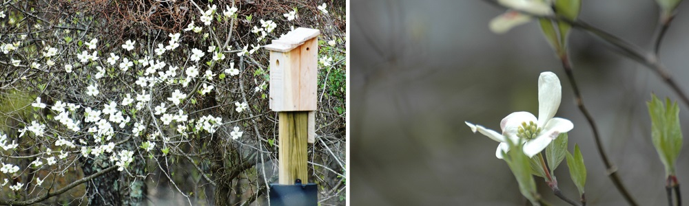 Dogwood blooms and birdboxes in the 8-acre meadow