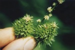 Female flower of the American chestnut. Courtesy of TACF_femflower