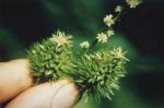 Female flower of the American chestnut. Courtesy of TACF_femflower