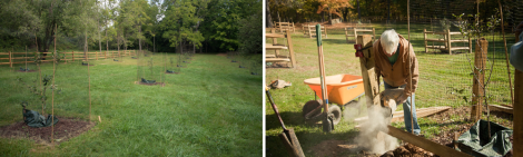 Volunteers fencing each of the apple trees -- protection from critters and weather!