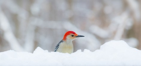 Red bellied woodpecker coutesy of Rachel Wood Ohio