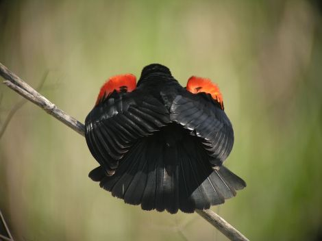 Unique shot of a red-winged blackbird (courtesy gubernator-ssp)