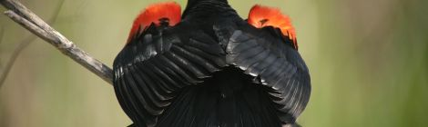 Unique shot of a red-winged blackbird (courtesy gubernator-ssp)
