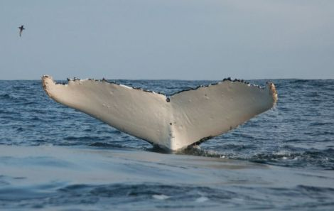 Humpback whale fluke. Photo by Sarah Robinson