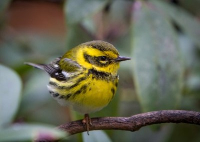 Townsend's Warbler courtesy of Craig Kerns