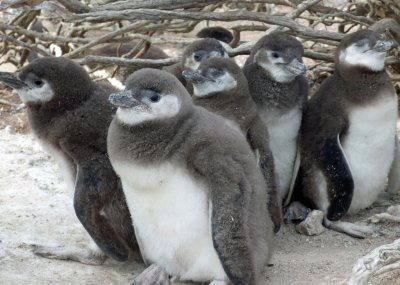 Magellenic penguin chicks Photo by Dee Boersma Univ of Washington