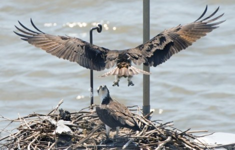 The Ospreys are back in DC!