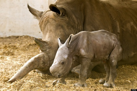 Rhino and baby Courtesy of Getty
