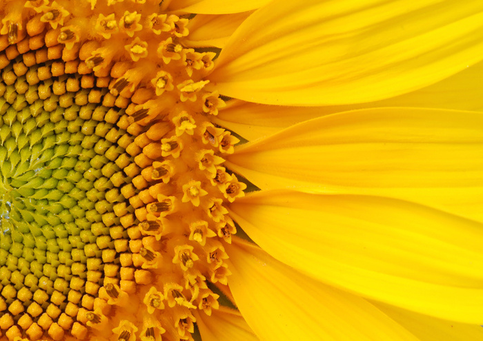 Sunflower.Courtesy of the Sunflower Dictionary
