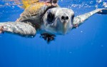 Ridley turtle. Image by Kip Evans for Cocos Bay Mission Blue