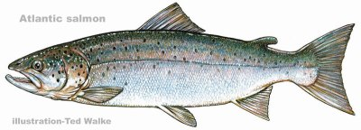 Atlantic salmon illustration by  Ted Walke